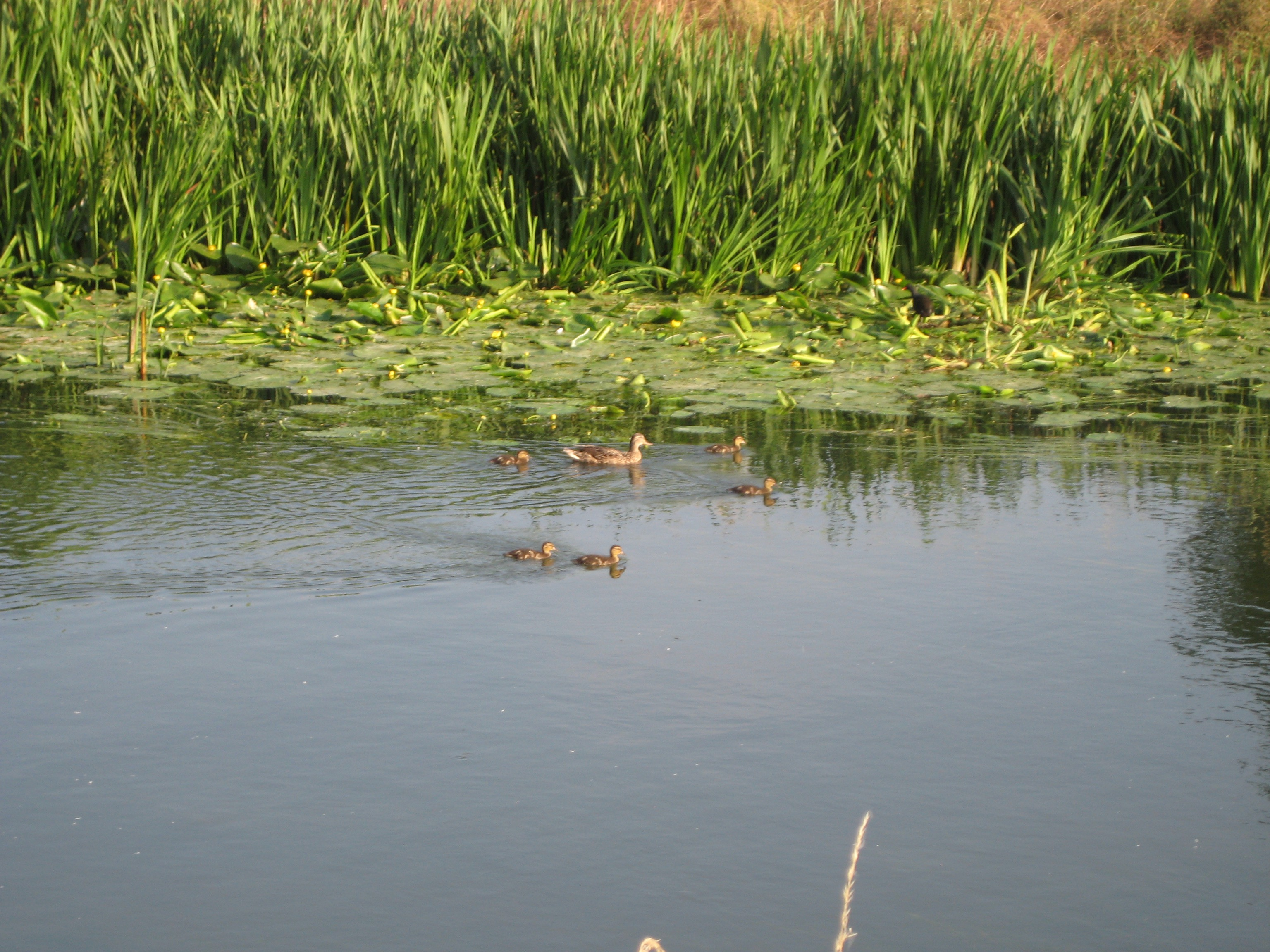 picture of mallards on the Cam